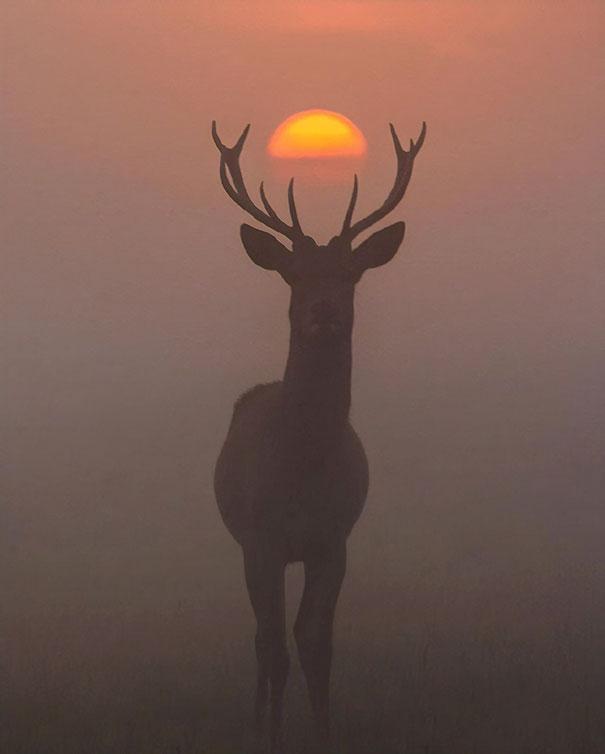 Animal coroado
