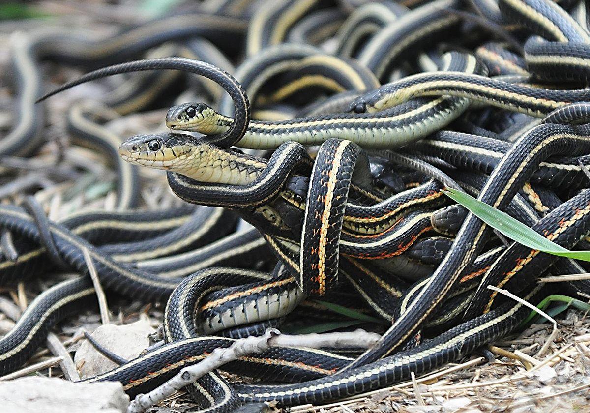 Emaranhado de cobras
