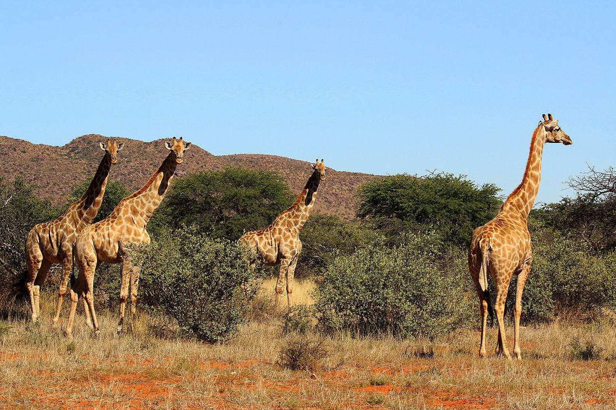 Grupo de girafas