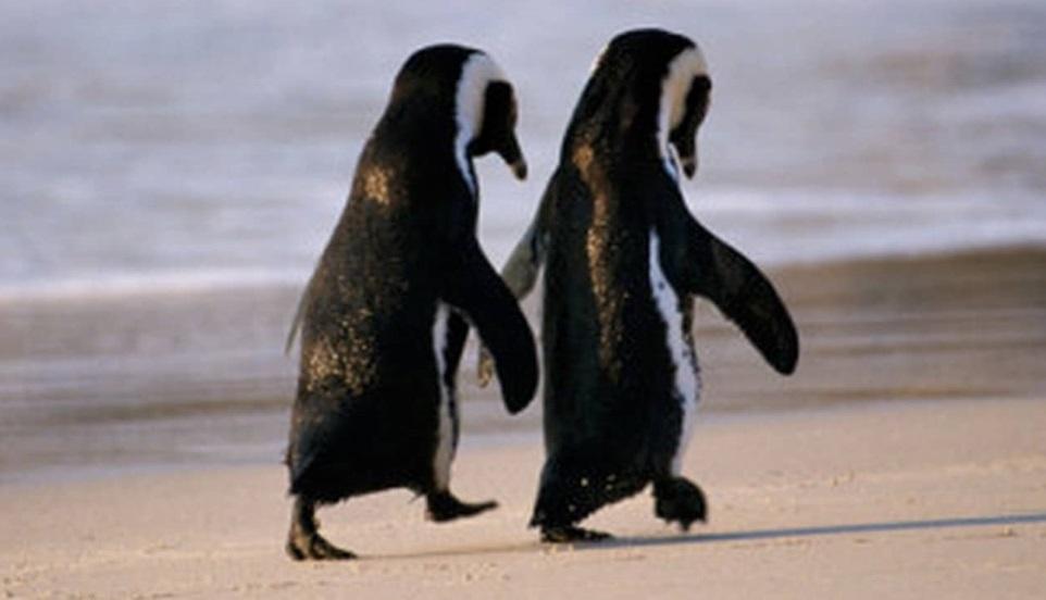 Casal de pinguins