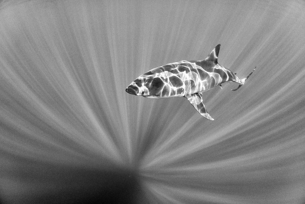 Reflexos em tubarão