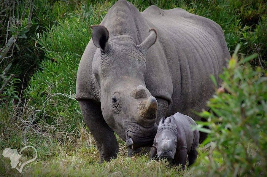 Rinoceronte com seu filhote