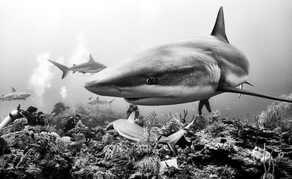 Tubarões e mergulhadores