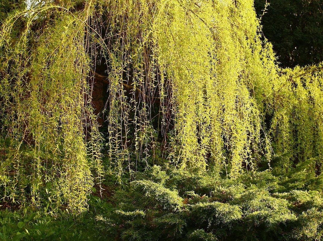 Árvore frondosa