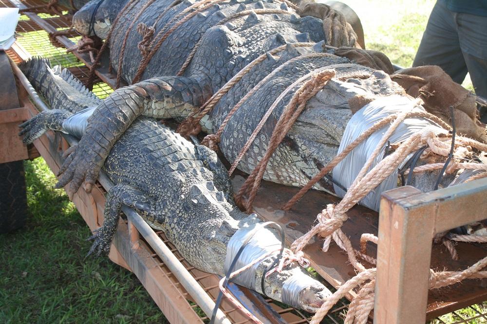 Crocodilo abraçando outro