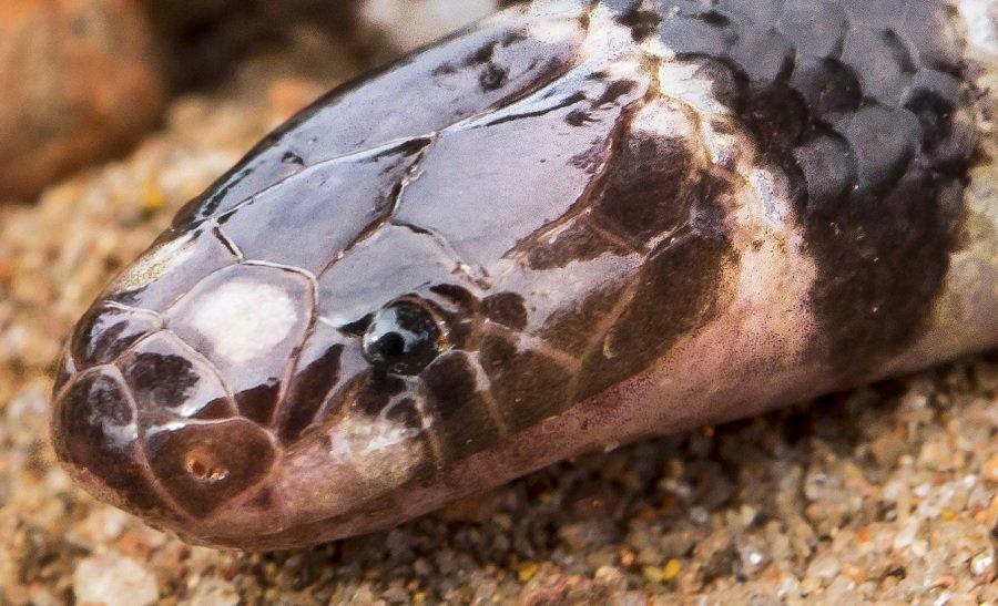 Nova espécie de cobra venenosa