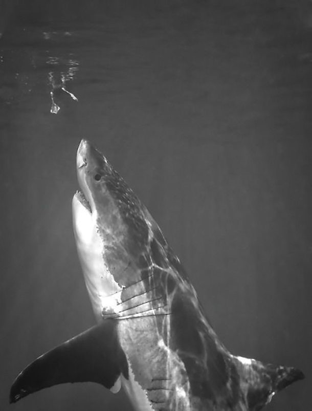 Tubarão prestes a atacar