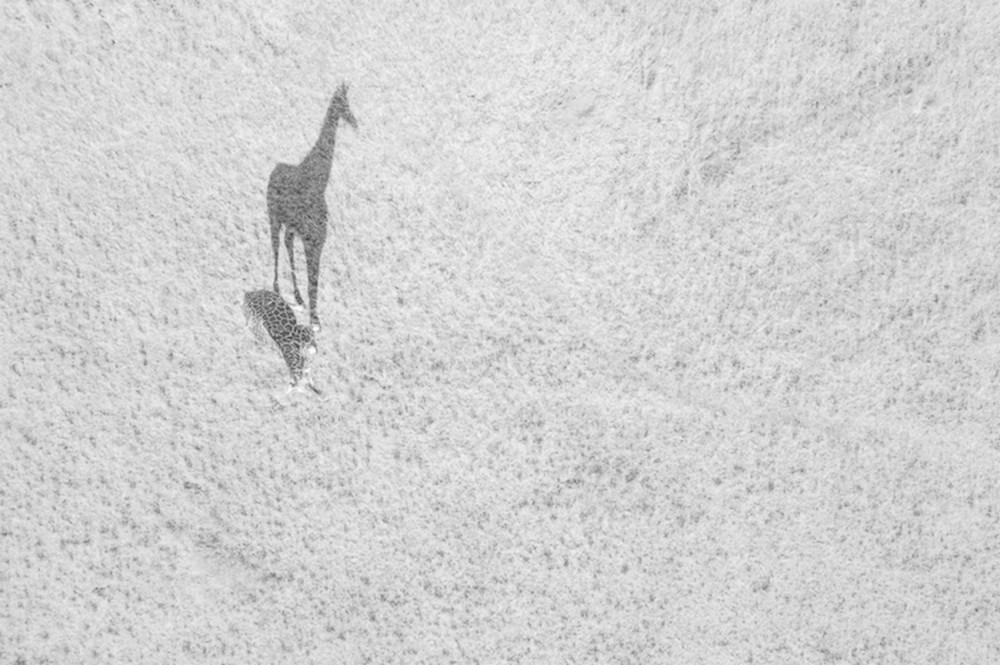 Girafa e sua sombra