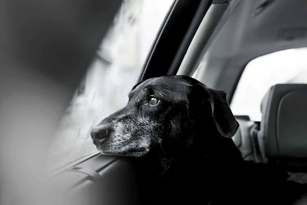 Cão pensativo