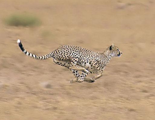 Guepardo correndo