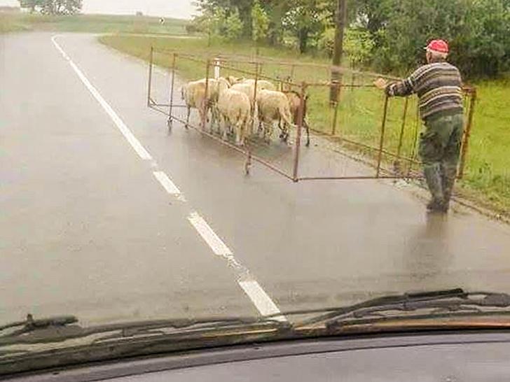 transportar gado