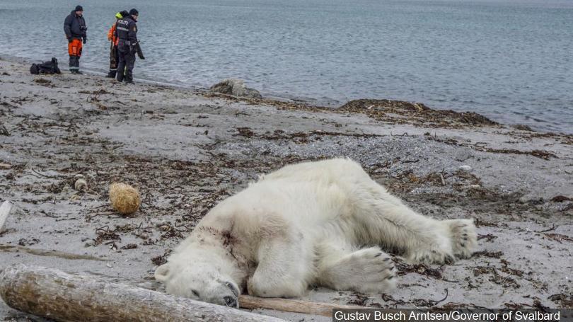 Urso polar abatido