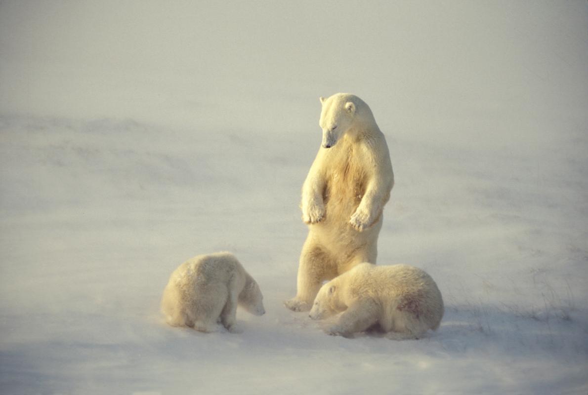 Urso polar com dois filhotes