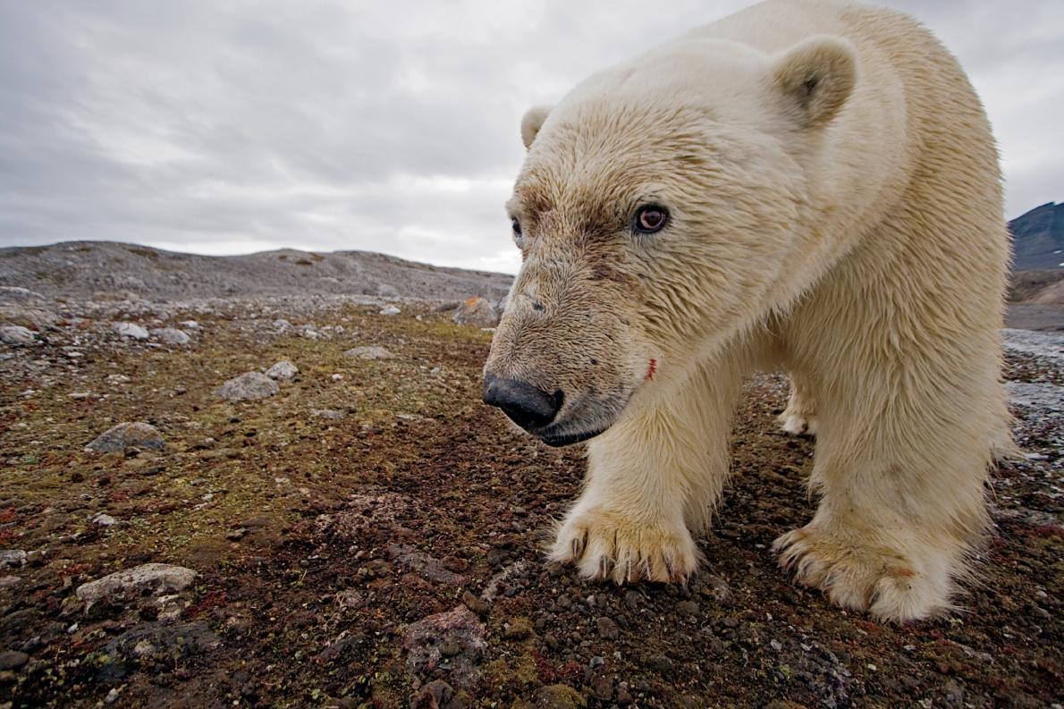 Urso polar na praia