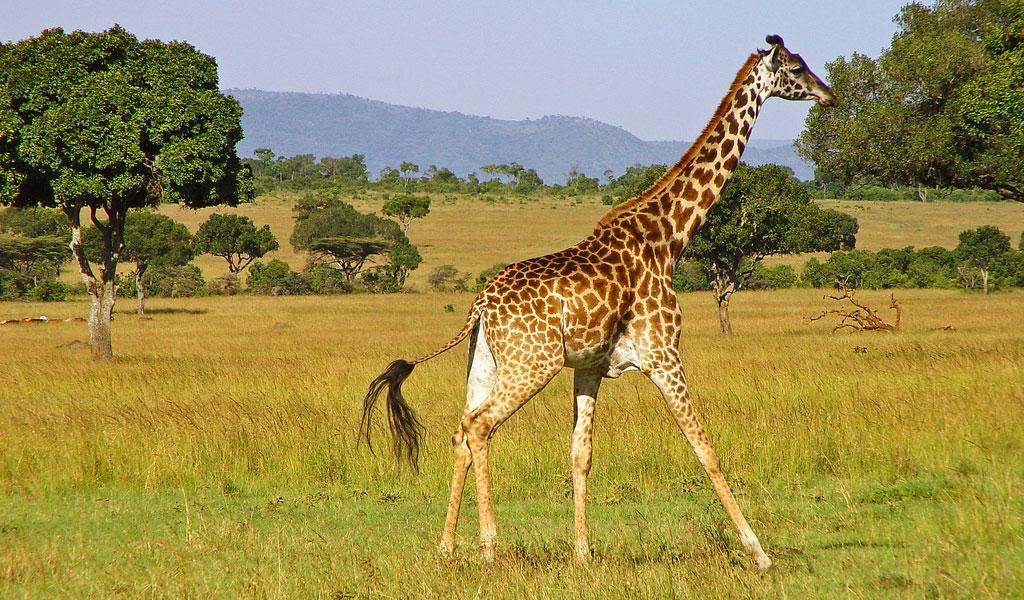 Girafa fofa