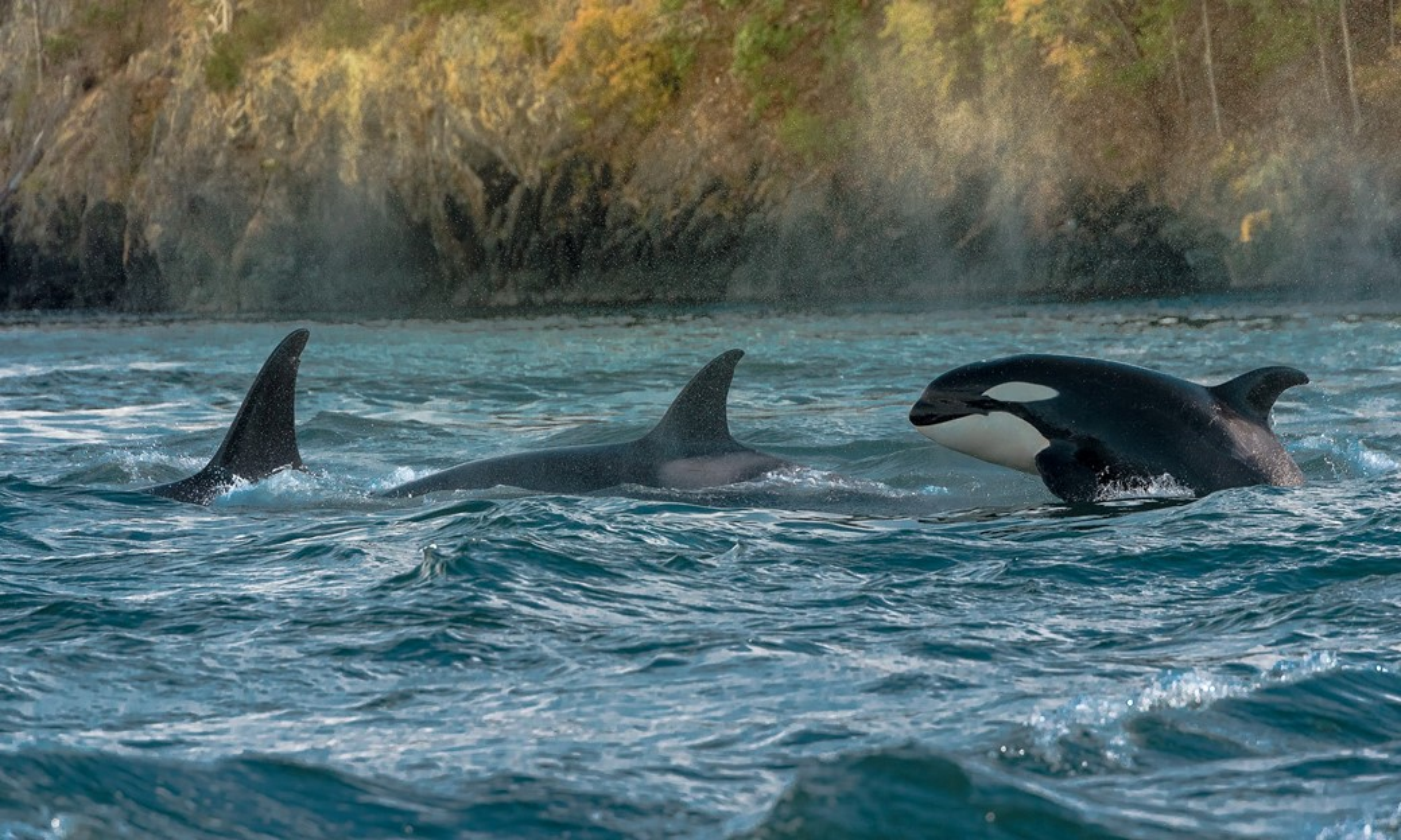 Grupo de orcas