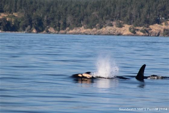 Orca com filhote morto