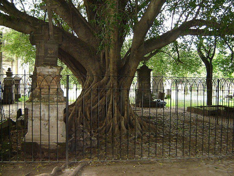 Árvore em cemitério