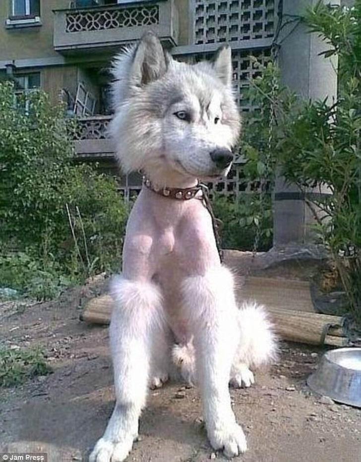cachorro tosado