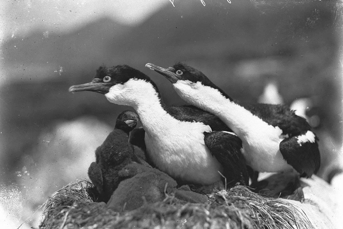 Aves defendendo ninho