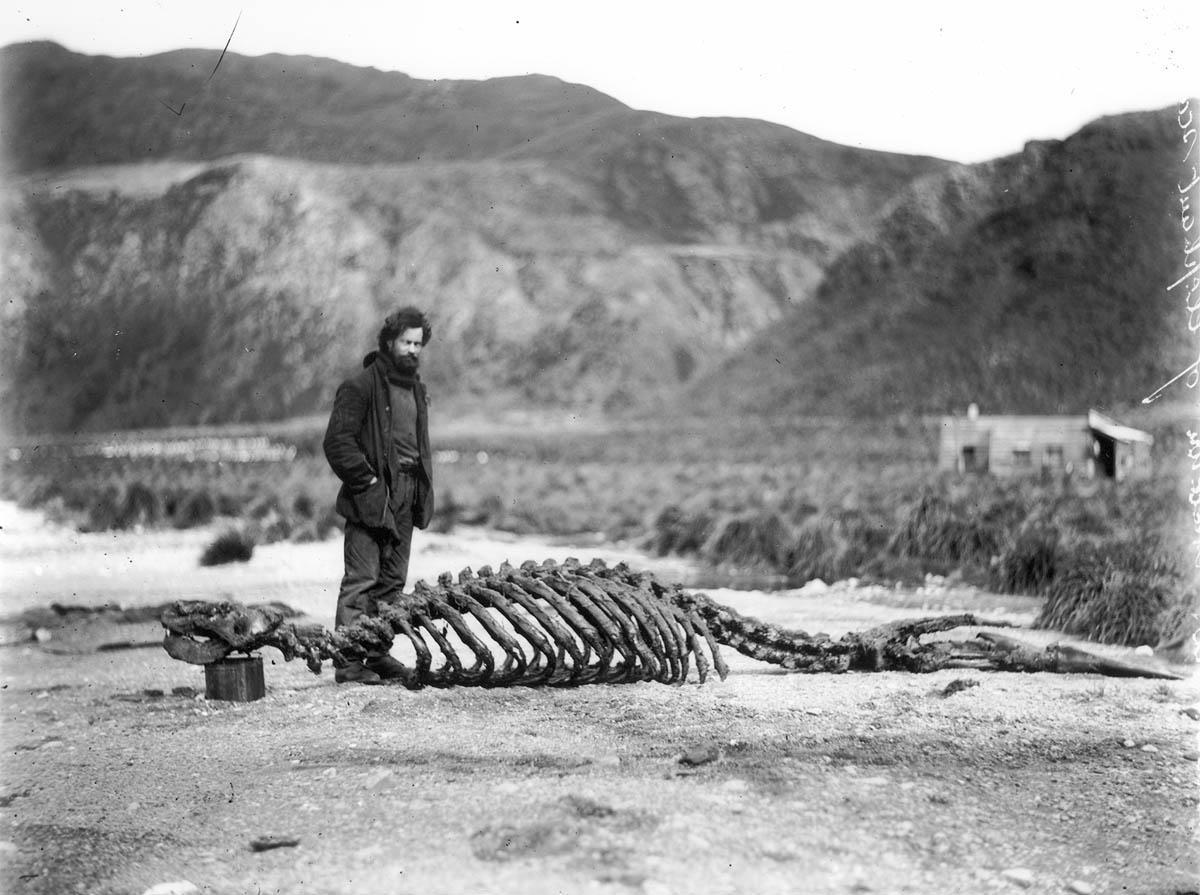 esqueleto de elefante marinho