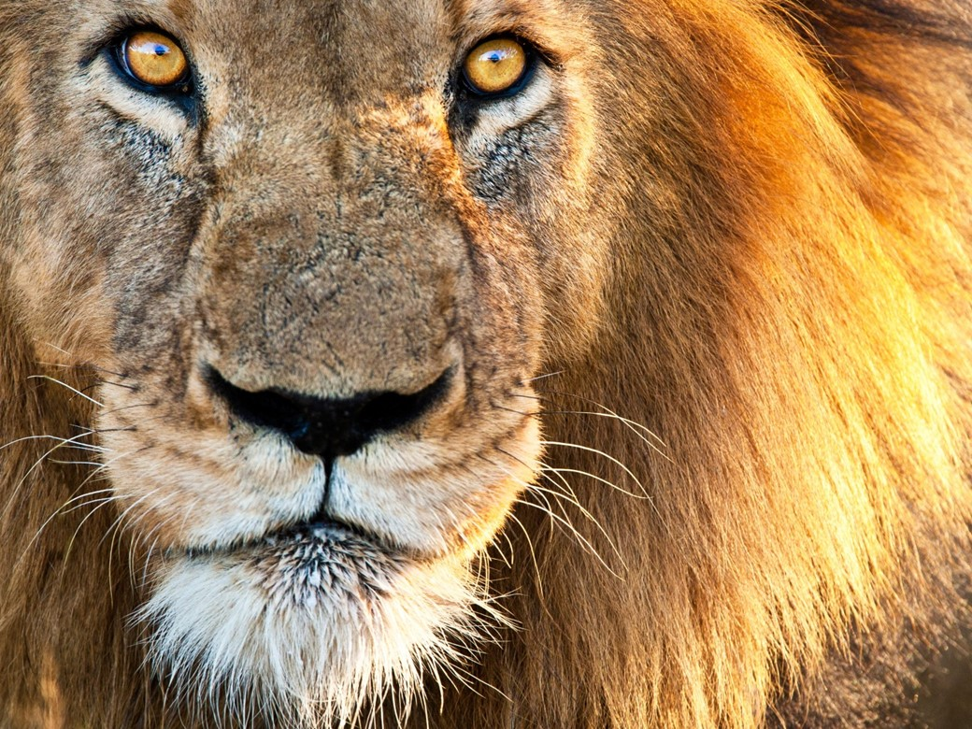 Leão majestoso