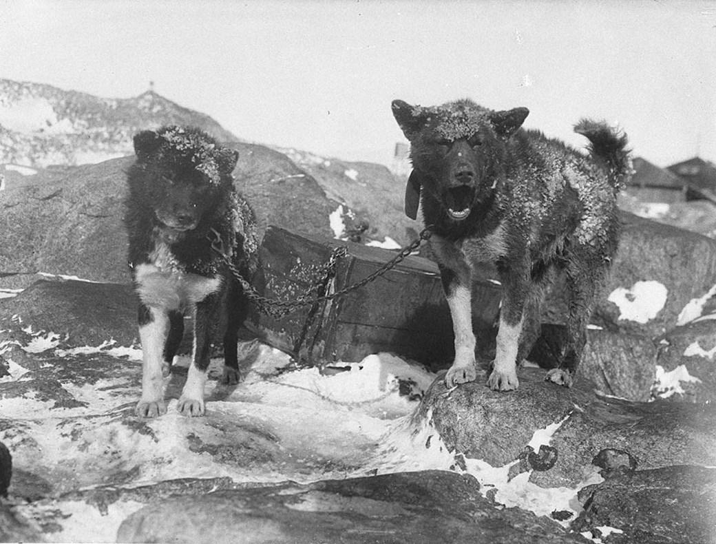 Cães na Antártida