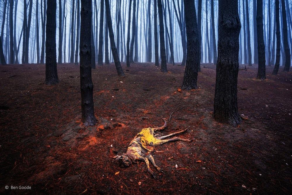 Canguru morto