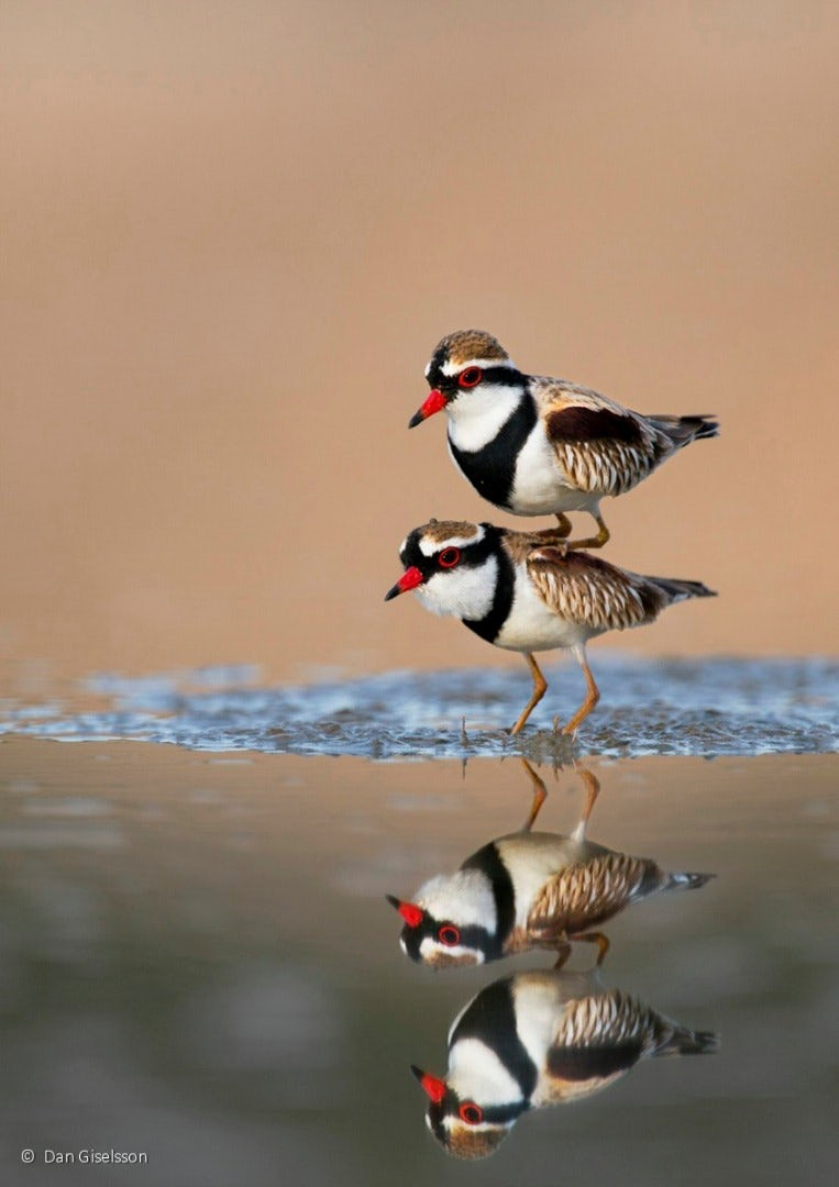 Pássaros fofos