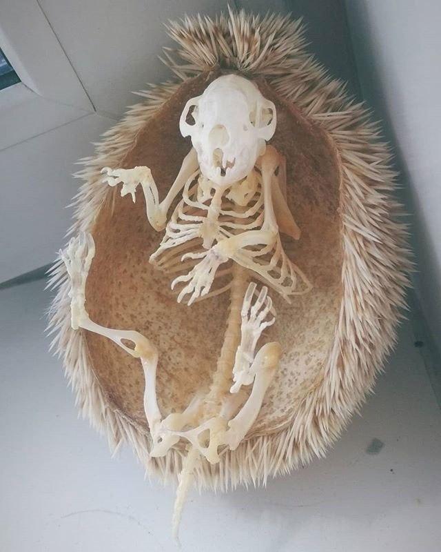 Esqueleto de porco espinho