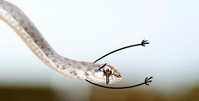 Cobra chorosa