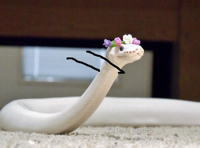 Cobra havaiana