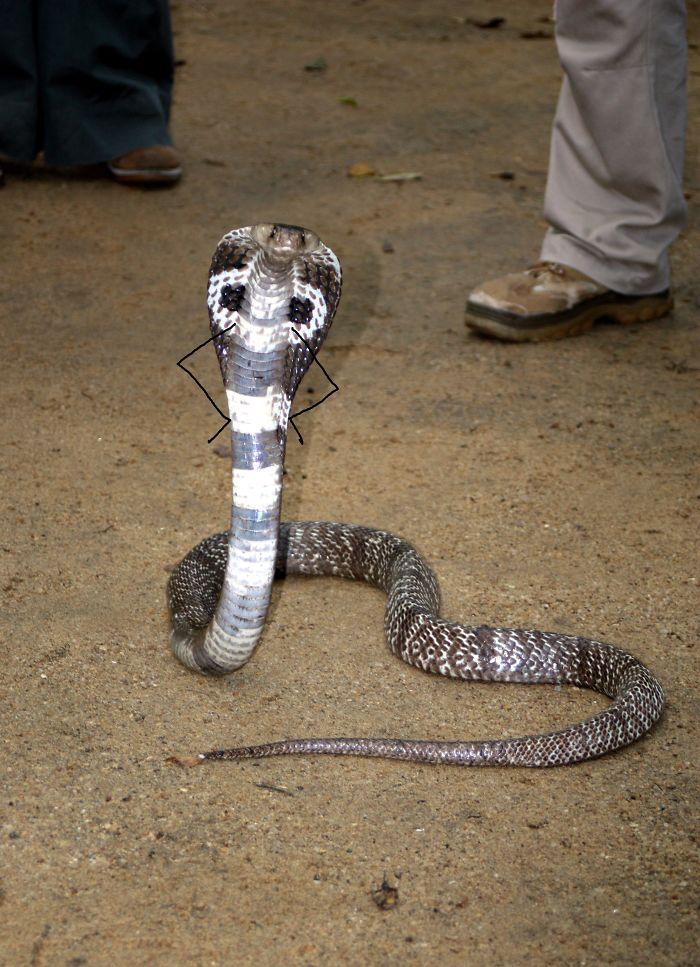 Cobra invocada