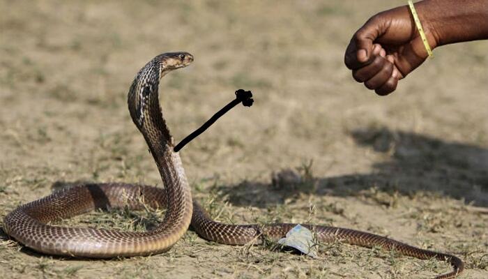 Cobra simpática