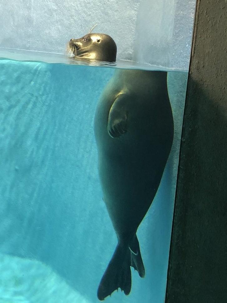 Foca em piscina