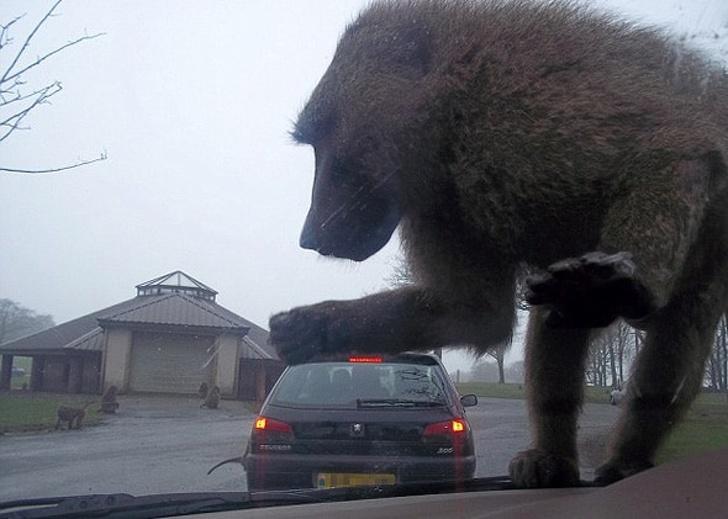 Macaco em carro