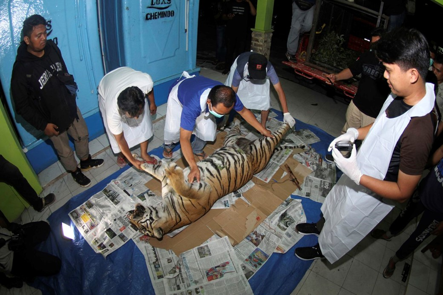 Exame em tigre morto
