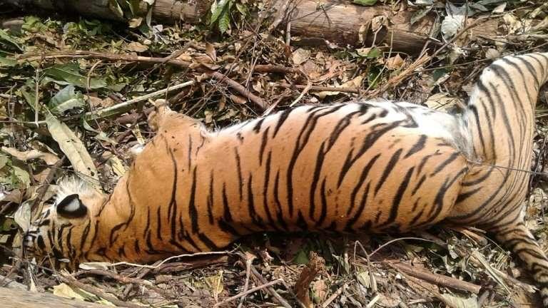 Tigresa morta