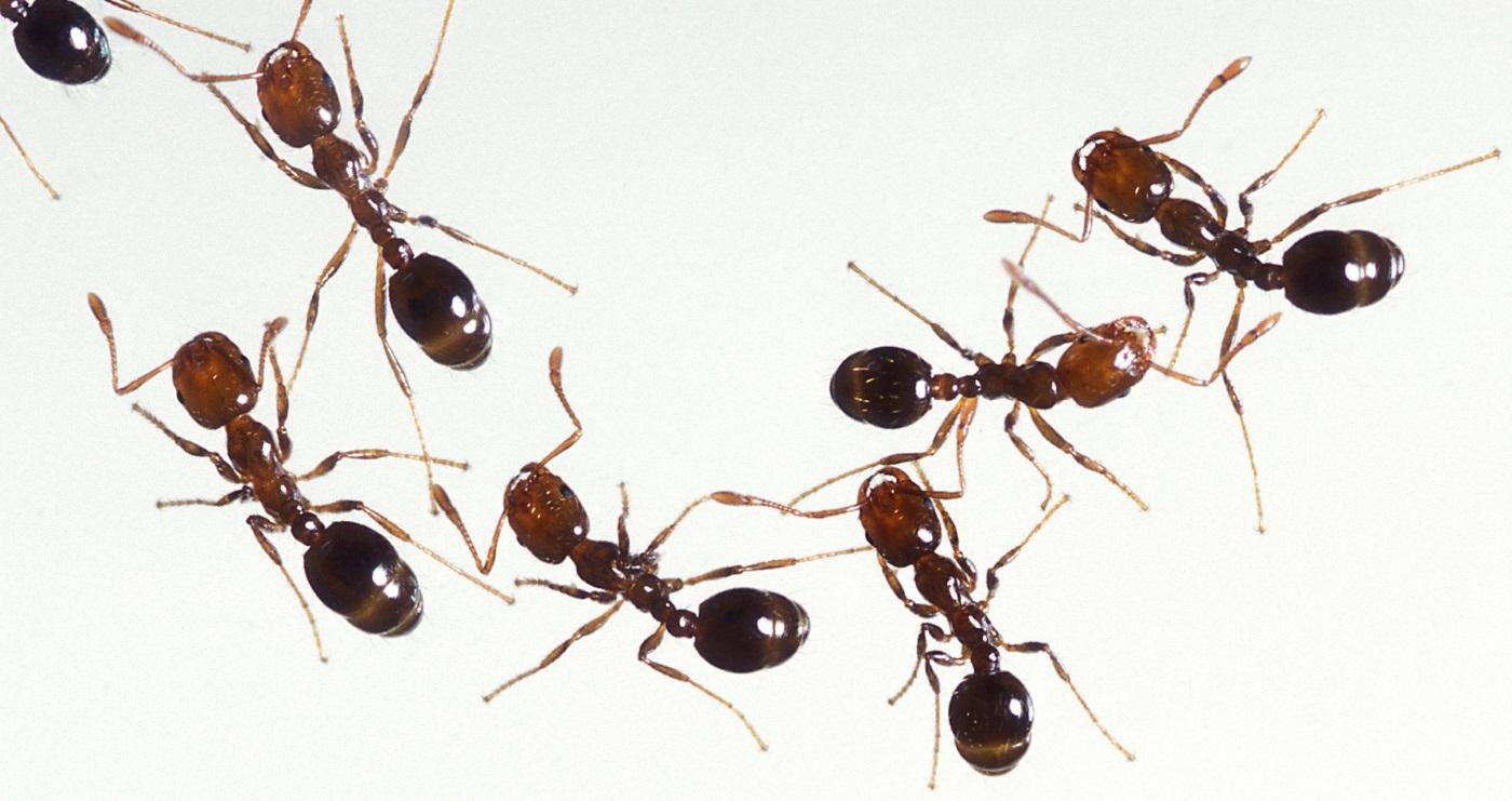 Várias formigas
