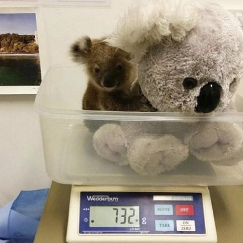 Filhote de coala