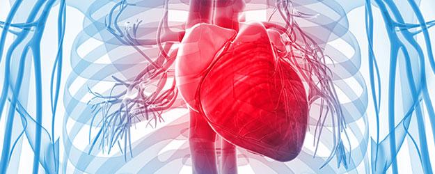Coração e corpo humano