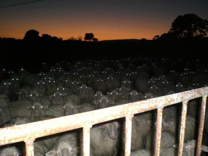 Ovelhas na noite