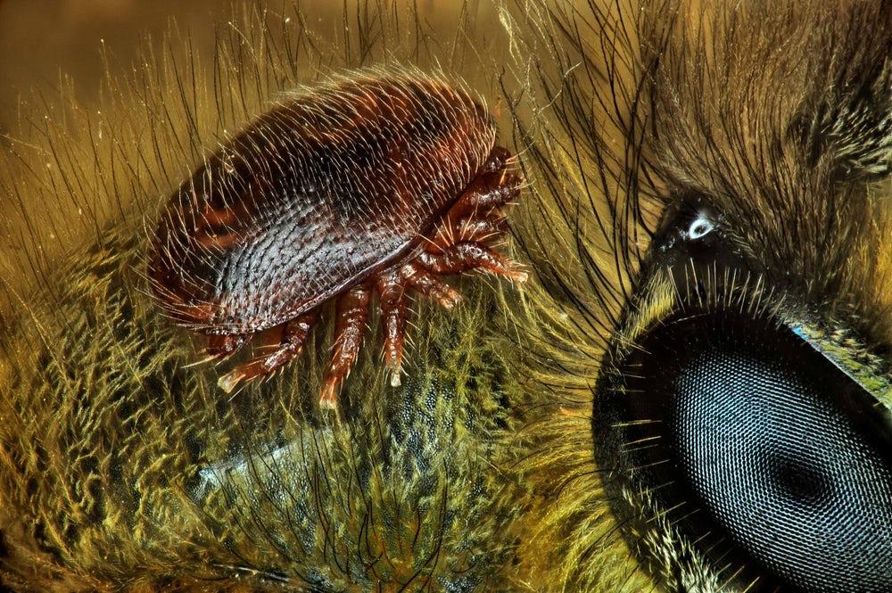 Um ácaro nas costas de abelha