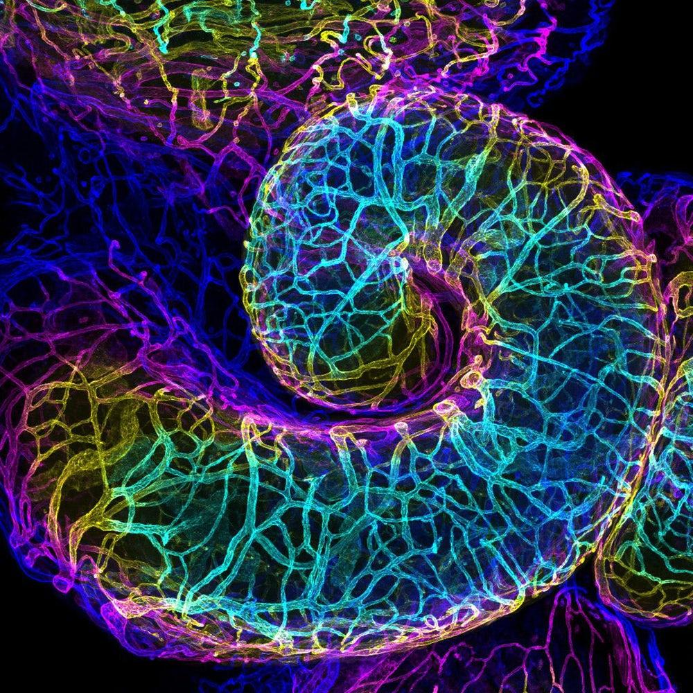 vascularização do oviduto