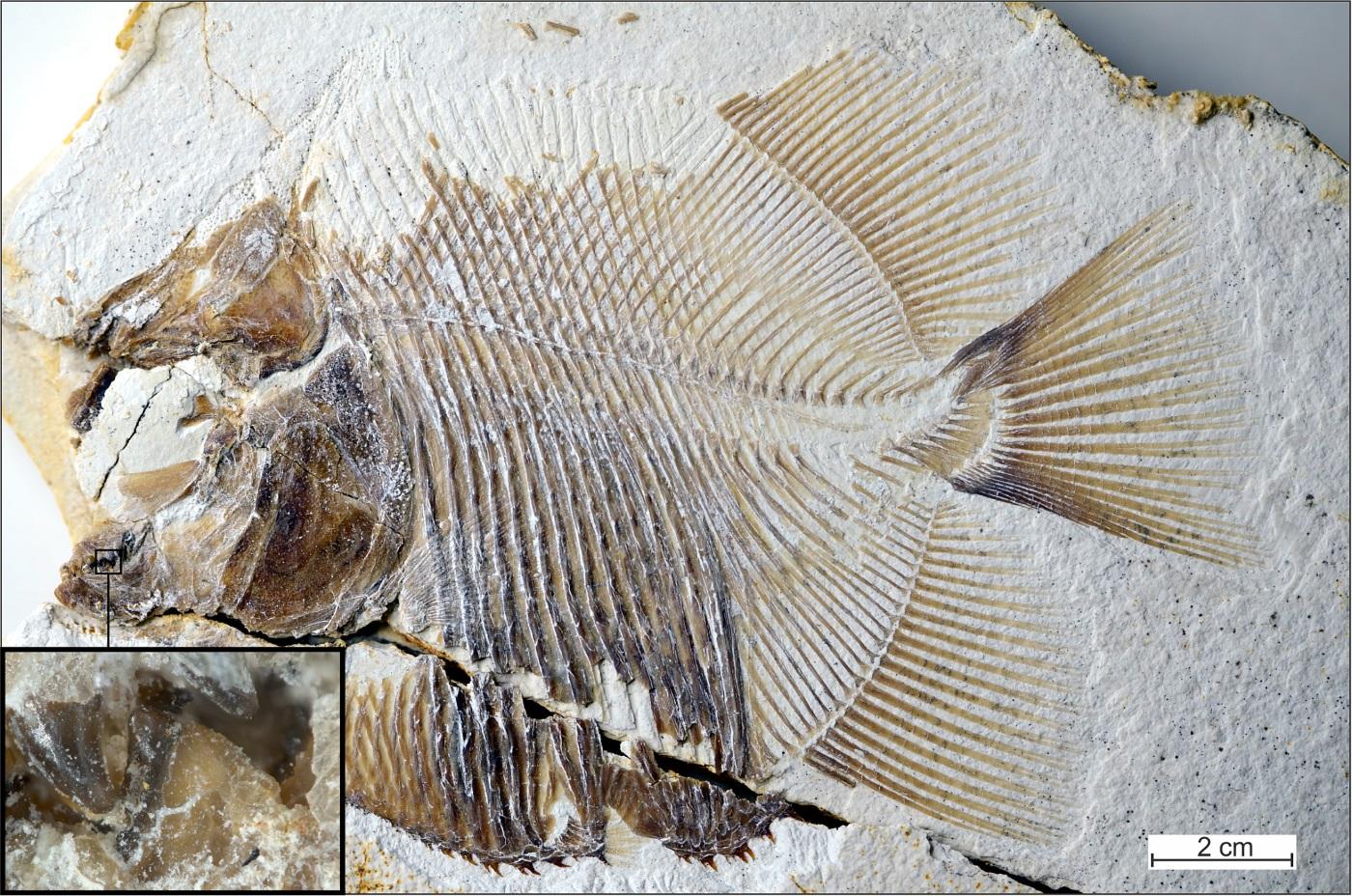 Fóssil de piranha