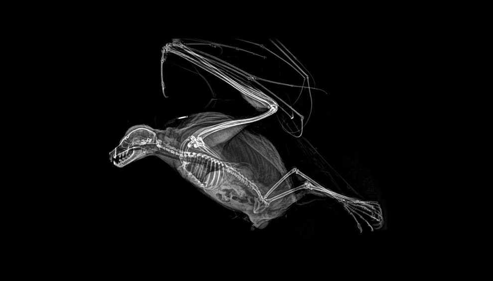 Radiografia de um morcego