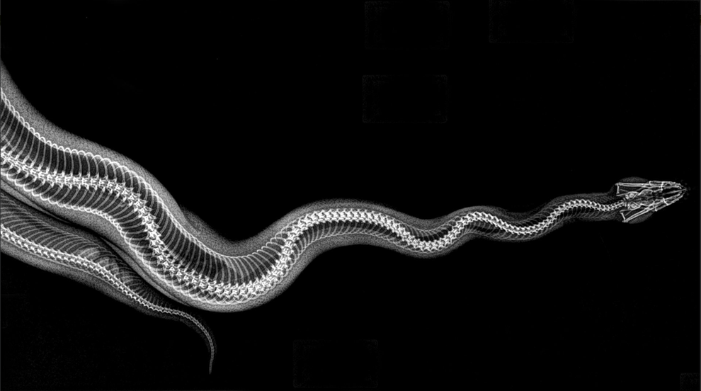 Radiografia de uma cobra