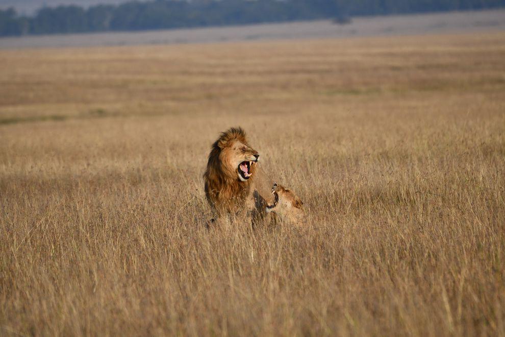 Casal de leões