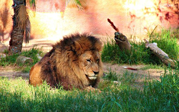 Leão em zoológico