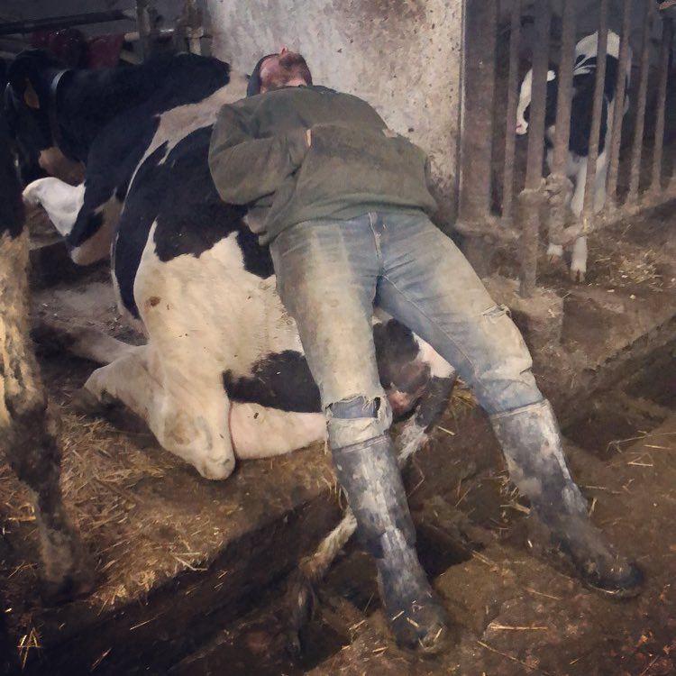 Dormindo sobre uma vaca